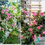 Cách chăm sóc hoa hồng ra hoa quanh năm